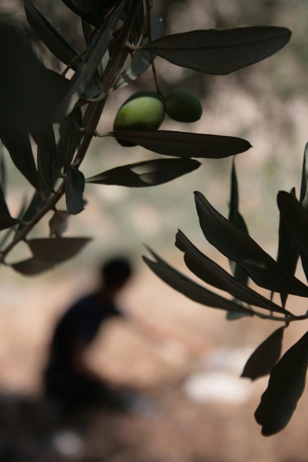 olive harvesting in al yamoun